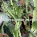 Turnip yellow virus showing in oilseed rape plant. This virus is spread by aphids