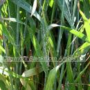 Mildew on upper leaves of wheat