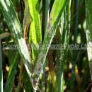 Severe attack of mildew on winter wheat lower leaves