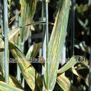 Yellow rust on wheat variety Oakley