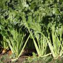 Sugar beet mature plants at harvest