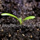 Rough hawkbit expanded cotyledons