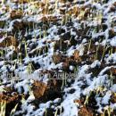 Wheat crop at one true leaf in ice and snow