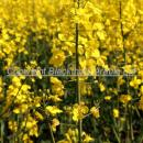 close up of flowering oilseed rape crop