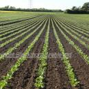 Good clean crop of sugar beet at around 6 true leaves stage