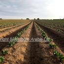 View straight down the rows of potato crop at 100% emergence