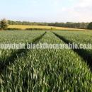 Wheat crop showing  flag leaves in sussex