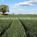 Wheat crop in norfolk at flag leaf GS39