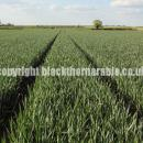 Wheat crop at GS 45 in boot