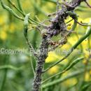 Mealy aphid attack in oilseed rape causing twisting of flowering stem and pods