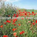 Poppies and mallow in an arable field margin in Norfolk