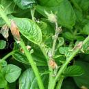 Potato leaves with fertiliser scorch