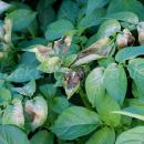 Slight frost or chilling damage to potato leaves