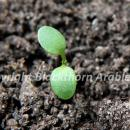 Pennycress cotyledons