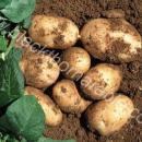 Early potatoes, variety Maris Bard in Suffolk