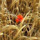 Barley crop on ear with poppies