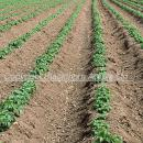 View down the rows of a potato crop shortly after emergence