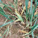 Gout fly damage showing in a tiller in wheat crop