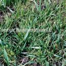 High population of blackgrass in winter wheat at late tillering stage