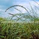 Italian ryegrass heads above a winter wheat crop