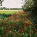 Field margin rich with poppies in a barley field, near Hilborough, Norfolk